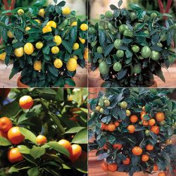 Quartet Citrus Tree Collection