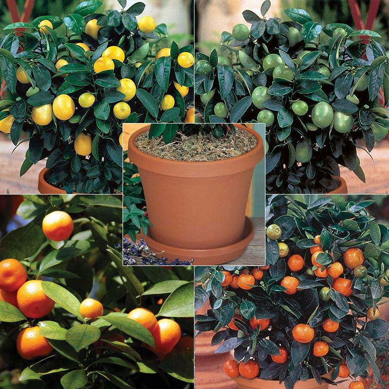 Quartet citrus tree collection kit citrus trees stark for What does a lemon tree seedling look like