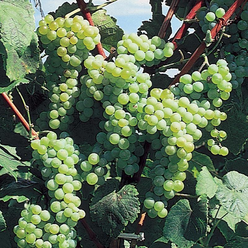 images of grape vines - photo #31