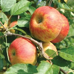 Photo of Cox's Orange Pippin Antique Apple