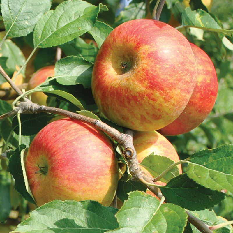 1x 4ft Patio Cox/'s Orange Pippin Apple Fruit Tree m9 Dwarf Self Fertile
