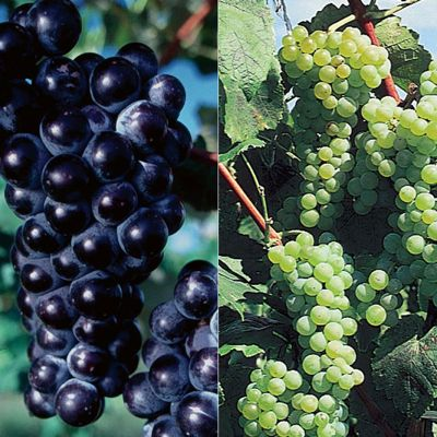 Bicentennial Grape Vine Collection