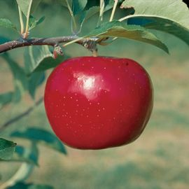 Red Rome Beauty Apple