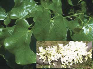 Texas white redbud flowering trees stark bros texas white redbud mightylinksfo