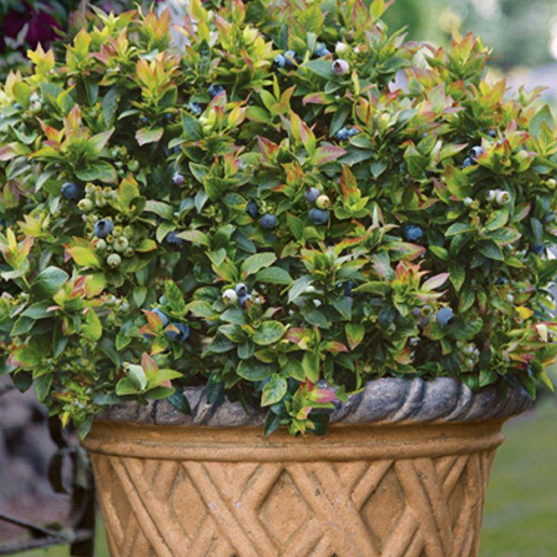 Bushel And Berry Jelly Bean Blueberry Plants Stark Bro S