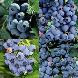 Heirloom Blueberry Plant Collection