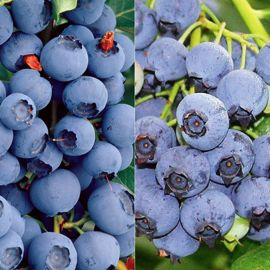 Northern Highbush Blueberry Plant Collection
