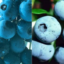 Southern Highbush Blueberry Plant Collection