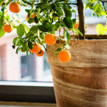 Indoor Fruit Trees