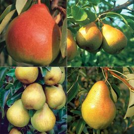 Pear Tree Collection