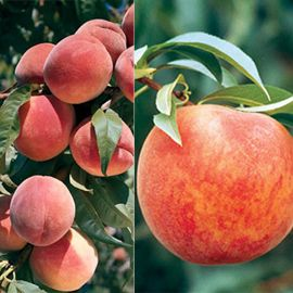 Burbank's Choice Peach Tree Collection