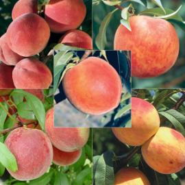 Cream of the Crop Peach Tree Collection