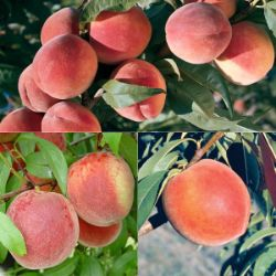 Peach Tree Lover's Collection