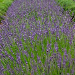 Photo of Phenomenal Lavender