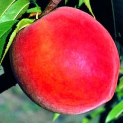 Photo of Stark® Elberta Queen™ Peach