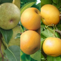 Triple Play Asian Pear Tree Collection
