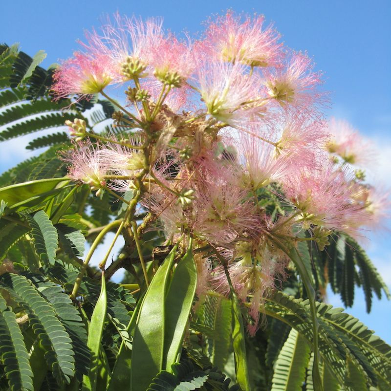E h wilson mimosa tree from stark bro 39 s mimosa trees for for Flowering landscape plants