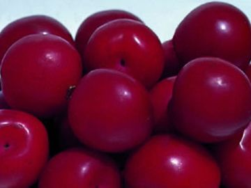 Burbank™ Red Ace Plum