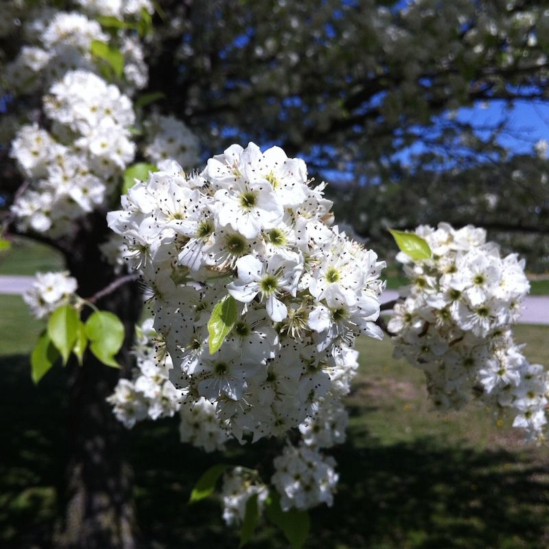 Cleveland select flowering pear flowering trees stark bros cleveland select flowering pear nextprevious mightylinksfo