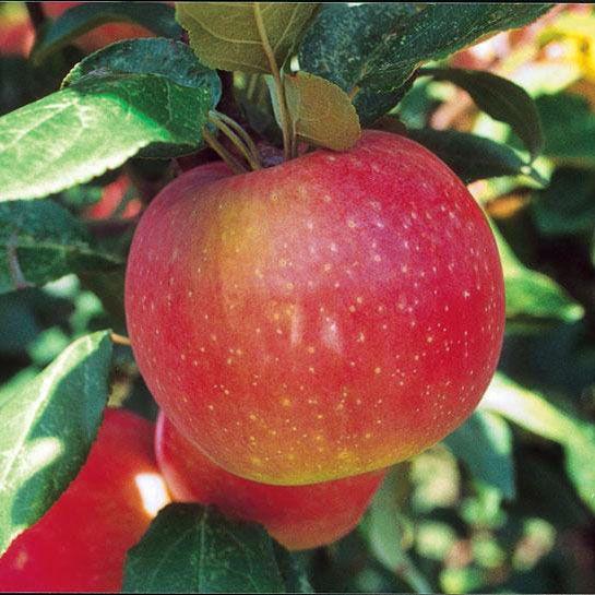 zestar174 apple apple trees stark bros