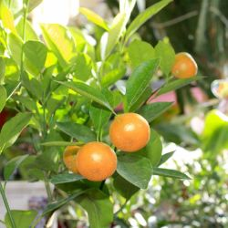 Photo of Calamondin Orange