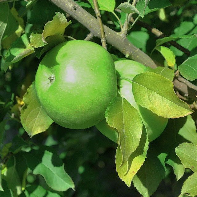 Granny Smith Apple Apple Trees Stark BrosGreen Apple Tree Leaves