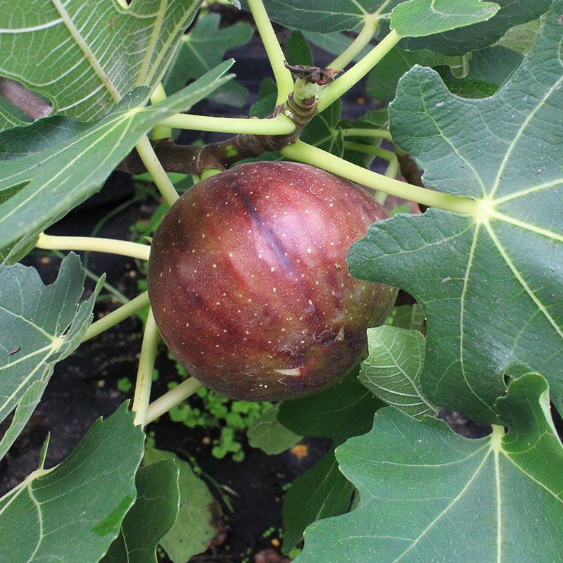 LSU Purple Fig - Fig Trees - Stark Bro's