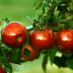 Photo of Stark® UltraRed™ Jonathan Apple