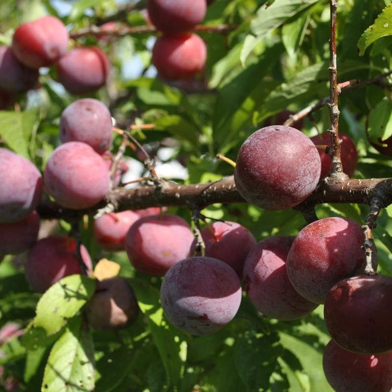 dwarf fruit trees from stark bro's  dwarf fruit trees for sale, Natural flower