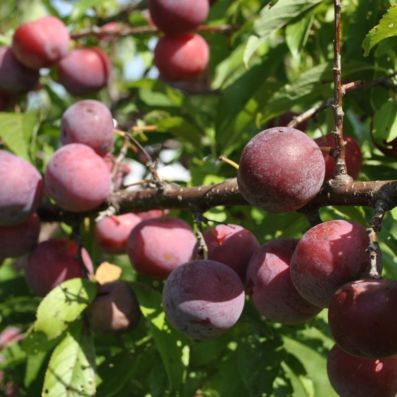 Bubblegum Plum Trees Stark Bro S