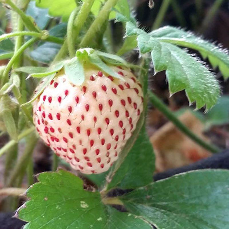 Everbearing strawberries everbearing strawberry plants for sale white carolina pineberry mightylinksfo Gallery