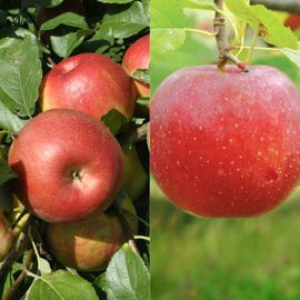 Stark® Custom Graft® 2-N-1 Sweet Treat Apple