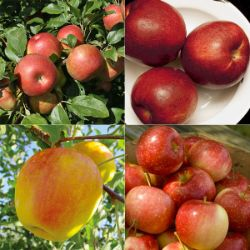 Cold-Hardy Apple Tree Collection