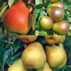 Disease-Resistant Pear Tree Collection