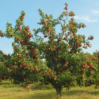 Disease-Resistant Fruit Trees
