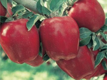 Starkrimson® Red Delicious Apple