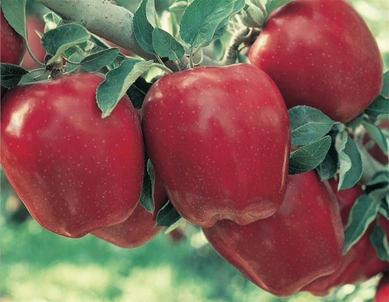 Starkrimson Red Delicious Apple Apple Trees Stark Bros