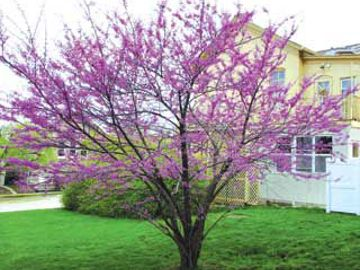 Photo of American Redbud