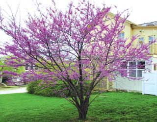 American Redbud Tree From Stark Bro S Eastern Redbud Trees For Sale
