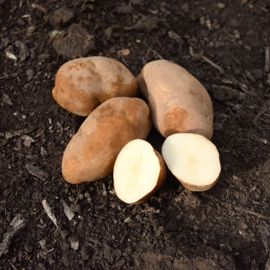 Photo of Butte Seed Potato
