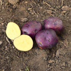 Huckleberry Gold Seed Potato