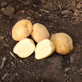Photo of King Harry Seed Potato
