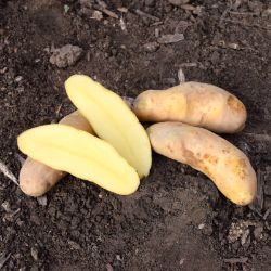 Photo of Russian Banana Fingerling Seed Potato