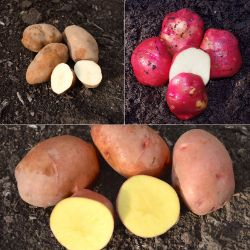 All-Season Certified Seed Potato Collection
