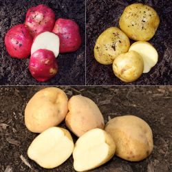 Early-Season Seed Potato Collection