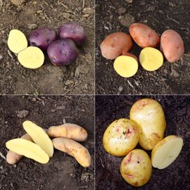 Heart of Gold Seed Potato Collection