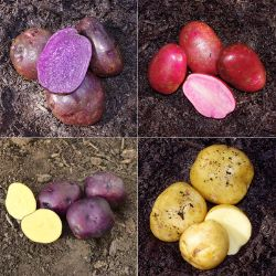 Rainbow Seed Potato Collection