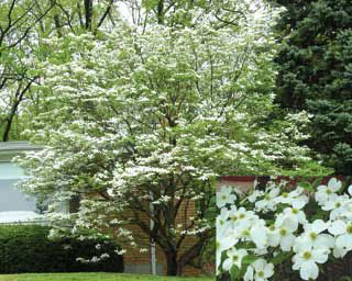 White Flowering Dogwood