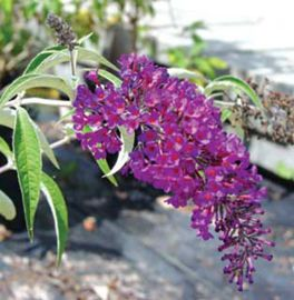 Royal Red Butterfly Bush