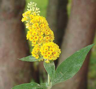 Honeycomb Yellow Butterfly Bush Additional Garden Plants